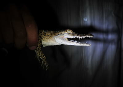 Baby Salt water crocodile