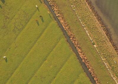 Grazing Cattle – Biesbosch, The Netherlands